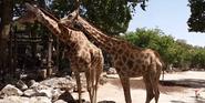 Lisbon Zoo South African Giraffes