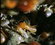 MMHM Termites
