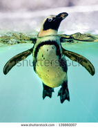 Stock-photo-a-penguin-swimming-in-an-zoo-139860007