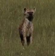 HugoSafari - Hyena01