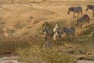 HugoSafari - Zebra08