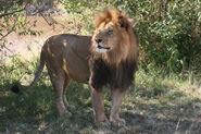 Lion, Masai
