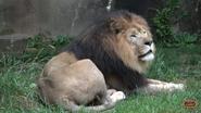 Memphis Zoo Lion (V2)