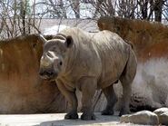 Rhinoceros, Eastern Black