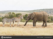 Two Zebras and One Elephant
