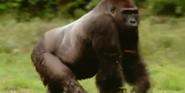 MMHM Gorilla