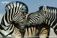 Male and female Burchell's zebras