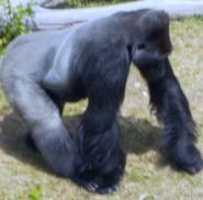 Utah Hoogle Zoo Gorilla