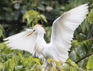 Another Western Cattle Egret
