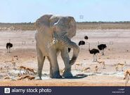 Impalas Elephants and Ostriches