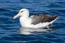 Albatross, black-browed