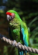 Macaw, Military