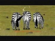 Three Windy Zebras
