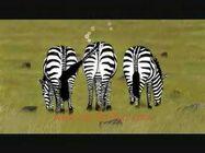 Three Windy Zebras