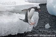 Adult-gentoo-penguin-leaping-into-sea