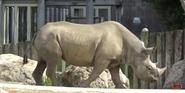 San Fransico Zoo Rhino
