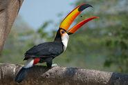 Toco-toucan5