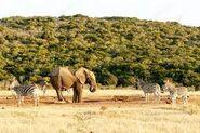 Elephant and Zebra Tailfighting