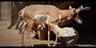 San Diego Zoo Pronghorn