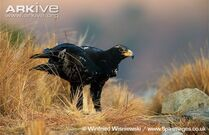 Verreauxs-eagle-on-the-ground