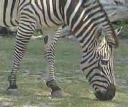 Virginia Zoo Plains Zebra
