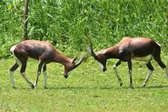 Fighting Bonteboks