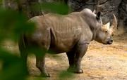 Phelidelphia Zoo South African White Rhino