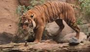 SDZ TV Series Tiger