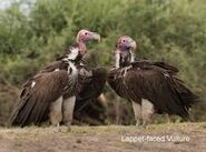 Two Red Headed Vultures