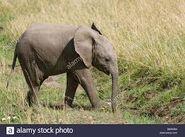 Young Masai Elephant
