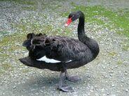 Black swan cygnus atratus 14-08-05