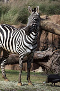Grants Zebra LG