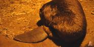 Omaha Zoo Beaver