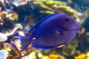105400293-a-coral-reef-fish-of-blue-tang-acanthurus-coeruleus-a-surgeonfish-with-other-names-such-as-atlantic-
