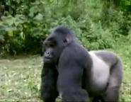 AFO Gorilla