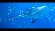Georgia Aquarium Whale Shark V2