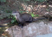 Otter, North American River