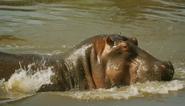 SRNGTI Hippo