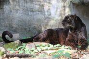 Saber-black-leopard Big Cat Rescue Credit