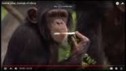 The Chimpanzee And the Bonobo Are From Africa As Well as the Gorilla and the Orangutan