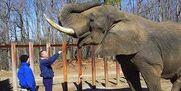 Loxodonta Africana Elephants
