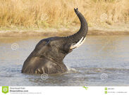 Male-african-elephant-loxodonta-africana-swimming-south-afric-28679455