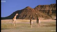 BBC Earth Giraffes