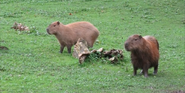 Chester Zoo Capybaras