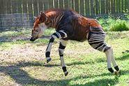 El Okapis