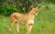 Masai Lioness