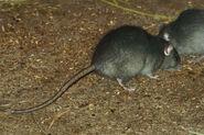 Rat, black