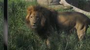 Seneca Park Zoo Lion V2