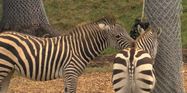 Seneca Park Zoo Zebras