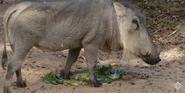 Maryland Zoo Warthog